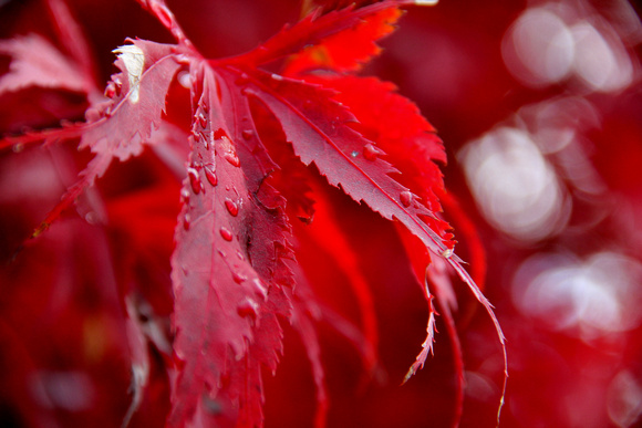 japanese maple, red, leaves, fall, autumn, rain drops,