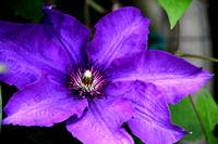 The Purple Clematis