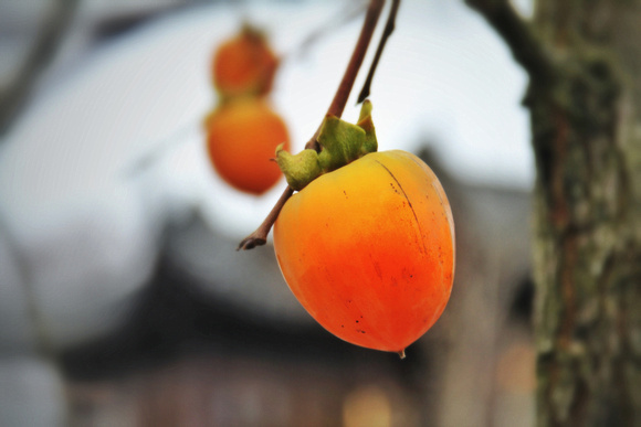 Glowing Persimmons