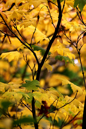 Fall, autumn, yellow, green, leaves, maple
