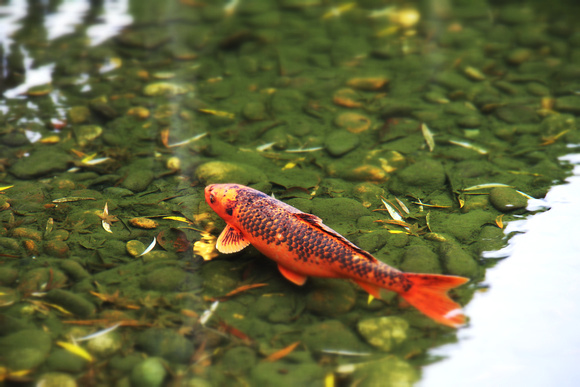 orange, koi, pond, green, water, legend, fish, carp, symbol, bravery, perseverance,