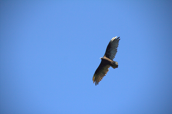 Carrion in flight